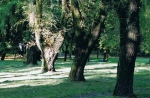 Park w Klimontowie. Tych drzew już nie ma.